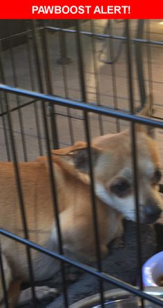 Is this your lost pet? Found in Carlisle, PA 17013. Please spread the word so we can find the owner!  Description: Male possibly chihuahua  Nearest Address: Army war college