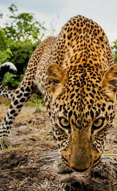 Stare down.. (by Will Burrard-Lucas)