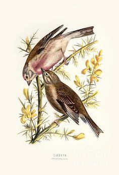 Linnet, Wild Birds, Bird Art, Restoration, Animals, Vintage, Animales, Animaux, Animal