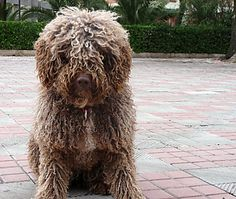 Cantabrian Water Dog - Google Search