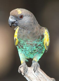 Meyer's Parrot (Poicephalus meyeri) is a small, stocky African parrot