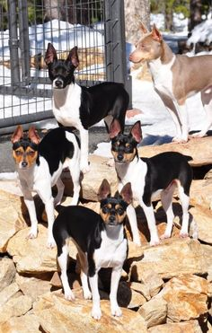 Beautiful group of Rat Terriers Rat Terriers, Rat Terrier Dogs, Miniature Fox Terrier, I Love Dogs, Cute Dogs, Dogs And Puppies, Doggies, Farm Dogs, Jack Russell Terrier