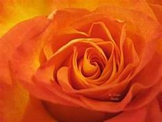 My favorite flower is the Coral Rose!! :)