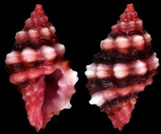Muricopsis roseus (Reeve, 1856). Muricopsis (Risomurex) rosea, common name the pink drupe, is a species of sea snail, a marine gastropod mollusk in the family Muricidae, the murex snails or rock snails. Univalve, has a single pair a gill leaflets on one side of the central axis, shell has well-developed siphonal canal, siphon is elongated and trunk like. Found in the Caribbean Sea; the Gulf of Mexico; in the Indian Ocean along the Mascarene Basin.