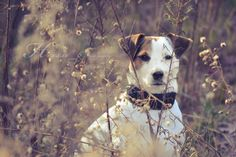 Jack Russell Terrier Isis Maria S. #jackrussell #terrier #dog #photography