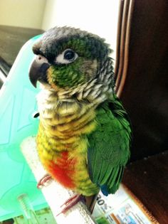 This is Rigby the 2.5 month old Yellow-Sided Green Cheek Conure!