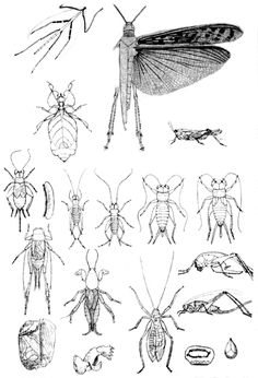 orthoptera.gif (414×608)