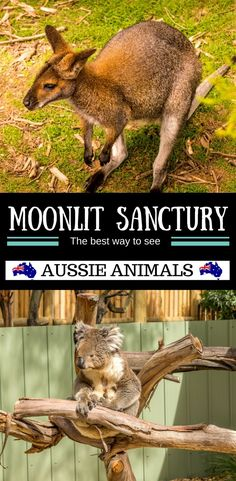 Do native Australian Animals interest you? At Moonlit Sanctuary you can learn all about them. Take in a show with the different animals, do an animal experience where you can hold a koala. Moonlit Sanctuary is more than an animal park it is a leader in several breeding programs. This is a great day trip from Melbourne.  #australian #koala #Kangaroo #wildlife #familytravel #familyvacation   | day trips from melbourne | Australian animals | seeing Koalas in Australia |