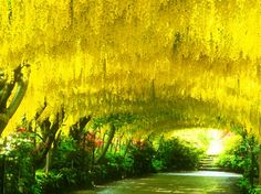 grootbloemige goudenregen