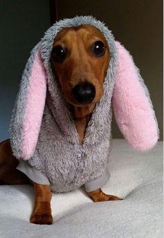 .cute bunny #dachshund.
