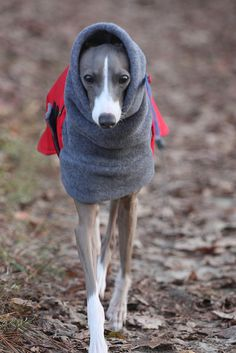Italian Greyhound Kermit Snoop Dogg