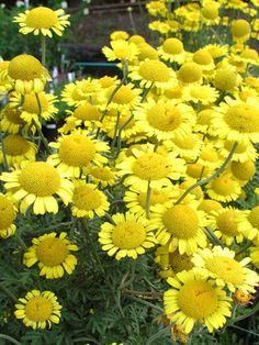 "Anthemis Kelwayi (Chamomile) Known as the ""Plants' Physician"" as it seems to improve the health of plants grown near it."