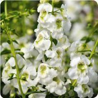 Serenita™ White Angelonia