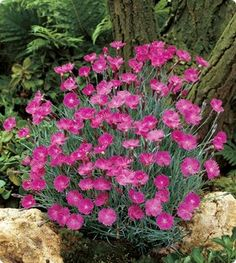 D is for dianthus.