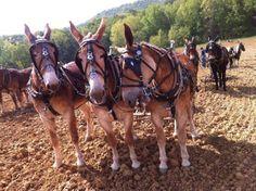 Hard working Mules