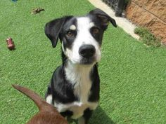 Hello, everyone! My name is Mackie and I'm one sweet pup. I'm here at the SPCA looking for a patient family to bring me home and teach me all there is to know about being a dog. I am a male, tricolor Labrador Retriever and Hound and I am about 6 months old. (ID#A075734)