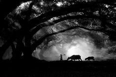 A brilliant black and white image of a Chinese farmer pulling his buffalo through an amazingly lit forest. Image by Jinny Tan.