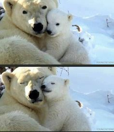 Mama polar bear cuddling with her baby