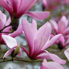 Shop Magnolia Soulangeana at J Parkers. Known as Saucer Magnolia a beautiful small Tree/Shrub with large showy rose-pink flowers.