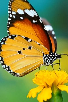 Beautiful Butterfly Pictures, Butterfly Photos, Butterfly Wallpaper, Flower Pictures, Beautiful Butterflies, Nature Pictures, Beautiful Birds, Animals Beautiful, Butterfly Video