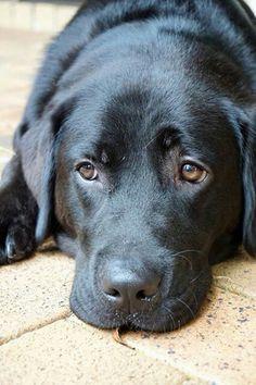Black Labrador!