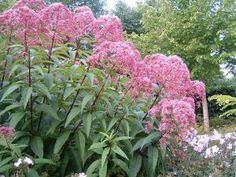 Rosenflockel. Eupatorium maculatum. 'Atropurpureum' - Mölnal Se Flora And Fauna, Dream Garden, Garden Planning, Garden Inspiration, Garden Landscaping, Weed, Backyard, Landscape, Image
