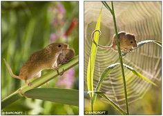 harvest mouse - Google Search