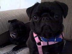 Two Black Pugs Head Tilt. Too cute