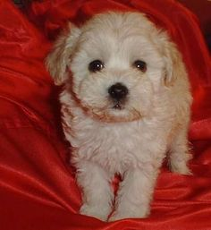 I will have a maltipoo named Niles. Fact.