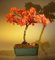 Japanese Flowering Quince Bonsai Tree. #bonsai