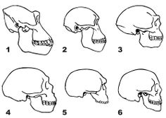 Skulls of Gorilla Australopithecine Homo erectus Neanderthal (La-Chapelle-aux-Saints) Steinheim Skull Modern human Natural Science Museum, Early Humans, Human Evolution, Prehistoric Animals, Chapelle, Science And Nature, Archaeology, History, Drawings