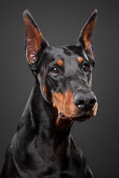 杜賓犬  Doberman Pinscher