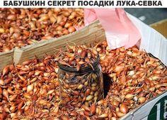 Бабушкин секрет посадки лука-севка;)