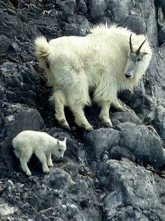 A mountain goat nanny watches her kid climb rocks at