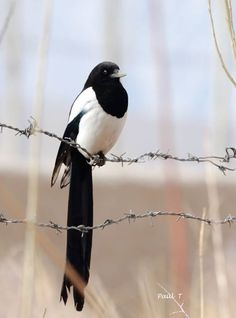 Eurasian magpie or common magpie (Pica pica) is a resident breeding bird throughout Europe, much of Asia and northwest Africa.