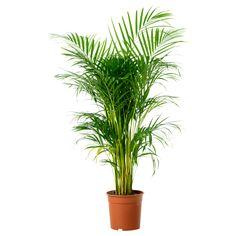 CHRYSALIDOCARPUS LUTESCENS Roślina doniczkowa - IKEA