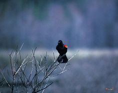 1989 Photograph, Red-winged Blackbird Calling over the Morning Marsh (Agelaius phoeniceus), Huntley Meadows, Alexandria, Virginia � 2000.