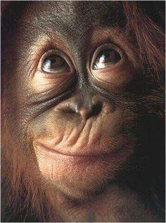 Orang-utan (Pongo pygmaeus), close-up, head-shot Cute Funny Animals, Cute Baby Animals, Animals And Pets, Funny Monkeys, Wild Animals, Monkey Pose, Cute Monkey, Monkey Bag, Primates
