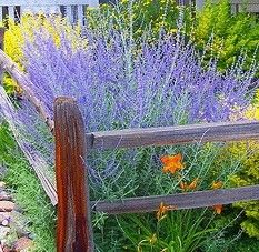 Hardy Perennial Russian Sage 'Blue Spires', Golden Privet, Orange Daylily Fantastic for BEES! - All About Garden Shade Garden, Garden Plants, Russian Sage, Hardy Perennials, Day Lilies, Garden Spaces, Yard Landscaping, Dream Garden, Lawn And Garden