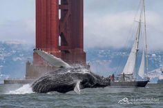 A humpback whale jumps out of the water in front of the Golden Gate Bridge. The food-rich coastal waters off Marin are an attraction to the whales. San Francisco Shopping, San Francisco Girls, Living In San Francisco, San Francisco California, California Surf, Northern California, Seattle, Ocean Life, Golden Gate Bridge