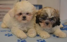 Playful Shihpoo boys and girls - Designer and Cross Breed Puppies For Sale Pets For Sale, Puppies For Sale, Shih Poo, Boys, Girls, Boy Or Girl, Play, Animals, Design