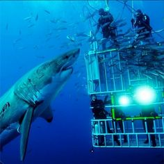 Great White Shark with Divers. pic.twitter.com/RReJ1pMm0f