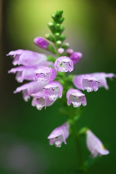 Physostegia Virginiana or Obedient Plant