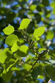 Aspen must be the only tree which is best distinguished by its voice