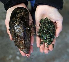 Mussel spat hatchery Mussels, Mystery, Fishing, Herbs, Kids, Food, Young Children, Boys, Essen
