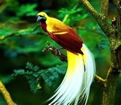 Lesser Bird of Paradise - Bing images