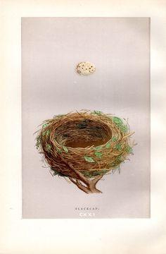 1892 Antique Nest & Egg Print Morris от AntiquePrintGallery