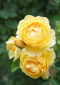 6 Ways to Get More Blooms From Your Roses: Plant Reblooming Rose Varieties
