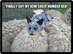 Australian Cattle Dog blue heeler red heeler love them cute puppies sheep pillow Animals And Pets, Funny Animals, Cute Animals, Scary Animals, Love My Dog, Sleeping Puppies, Sleeping Animals, Funny Animal Pictures, Adorable Pictures