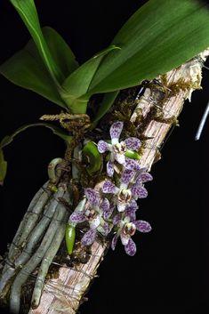Peristerchilus Olive Grace Moth Orchid, Orchid Plants, Exotic Plants, Exotic Flowers, Tropical Plants, Air Plants, Garden Plants, House Plants, Beautiful Flowers